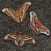 arlette-ess-moths-on-astrakhan